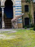 Żyrafa w Zoologicznych ogródach i akwarium w Berlińskim Niemcy Berliński zoo jest odwiedzonym zoo w Europa, Zdjęcie Stock