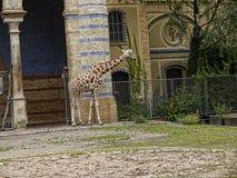 Żyrafa w Zoologicznych ogródach i akwarium w Berlińskim Niemcy Berliński zoo jest odwiedzonym zoo w Europa, Zdjęcia Stock