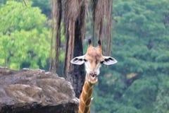 Żyrafa wysoka wśród ziemnych zwierząt Fotografia Stock