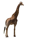 żyrafa występować samodzielnie Zdjęcia Stock