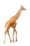 żyrafa występować samodzielnie Zdjęcia Royalty Free