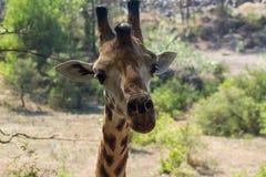 Żyrafa zwierzęcy portret w Afryka Zdjęcia Royalty Free