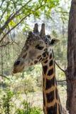 Żyrafa zwierzęcy portret w Afryka Fotografia Stock
