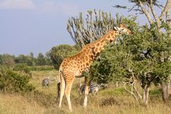 Żyrafy łasowania roślinność na Kenijskiej sawannie fotografia royalty free