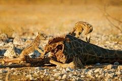 Żyrafy ścierwo z dwa żywieniowymi szakalami, zwierzęcy zachowanie w Etosha NP, Namibia w Afryka Przyrody scena od natury Szakal w obraz stock