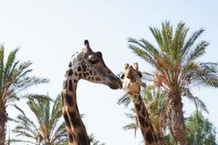 żyrafy Obrazy Royalty Free