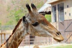 żyrafy Obraz Royalty Free