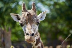 żyrafy Zdjęcie Stock