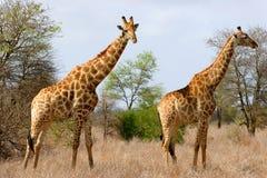 żyrafy afrykańskiej Zdjęcie Royalty Free