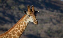 żyrafy afrykańskiej Fotografia Stock