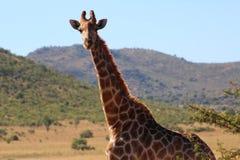 żyrafy afrykańskiej Obrazy Royalty Free