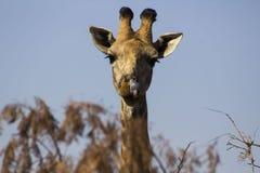 żyrafy afrykańskiej Zdjęcia Royalty Free