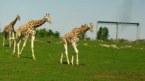 3 żyrafy chodzi z rzędu Zdjęcie Royalty Free