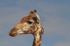 Żyrafy głowa Zdjęcia Royalty Free