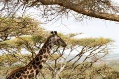Żyrafy Giraffa Ngorongoro konserwaci terenu NCA świat Herit Obrazy Royalty Free
