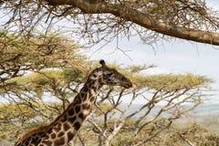 Żyrafy Giraffa Ngorongoro konserwaci terenu NCA świat Herit Fotografia Stock