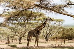 Żyrafy Giraffa Ngorongoro konserwaci terenu NCA świat Herit Obraz Stock