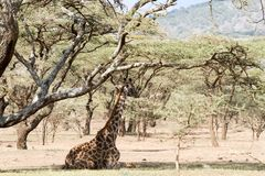 Żyrafy Giraffa Ngorongoro konserwaci terenu NCA świat Herit Obrazy Stock