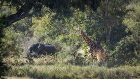 Żyrafy i afrykanina krzaka słoń w Kruger parku narodowym, południe Zdjęcia Royalty Free