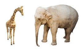 Żyrafy i słonia savana dzikie zwierzęta Obrazy Stock