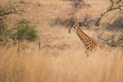 żyrafy południowej afryce Zdjęcie Stock
