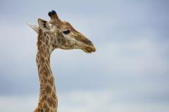 żyrafy południowej afryce obraz stock
