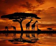 żyrafy stado ilustracji