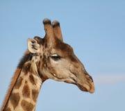 żyrafy tła głowy szyi portret Zdjęcie Royalty Free