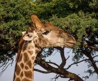 żyrafy tła głowy szyi portret Obrazy Royalty Free