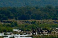 Żyrafy w rzece, Południowa Afryka Słoneczny dzień z dużymi zwierzętami Przyrody scena od natury Obraz Stock