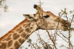 Żyrafy zakończenia głowy łasowanie i pozycja obraz stock