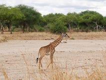 Żyrafy zakończenie na Tarangiri safari - Ngorongoro Zdjęcia Stock