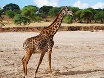 Żyrafy zakończenie na Tarangiri safari - Ngorongoro Obrazy Royalty Free