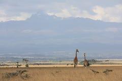 Żyrafy zbliżać Mt Kenja fotografia royalty free