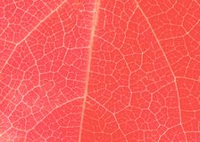 Żywa koralowa liść tekstura z malutkimi żyłami zdjęcie royalty free