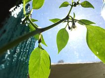 żywa salowa Chili roślina Fotografia Stock