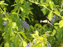 Żywa zieleń opuszcza z czarnym i żółtym motylem Zdjęcie Stock