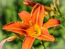 Żywego pomarańczowego okwitnięcia lelui pojedynczy kwiat w górę zdjęcia royalty free