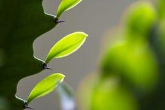 3 Żywej zieleni kaktusa liścia obraz stock