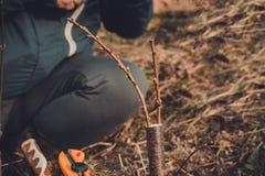 Żywi rozcięcia przy kopulizaci jabłonią w rozpadlinie z dorośnięcie pączkami, potomstwa opuszczają i kwitną zbliżenie zdjęcia royalty free