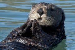 żywieniowa wydra zdjęcia stock