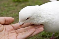 żywieniowi gołębie Obrazy Royalty Free