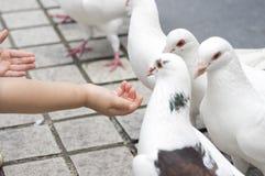 żywieniowi gołębie Fotografia Stock