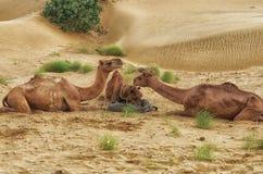 Żywieniowi wielbłądy podczas pustynnej safari fermaty Obraz Royalty Free