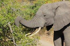 Żywieniowy Afrykański słoń Obrazy Stock