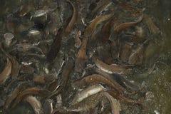 Żywieniowy czas dla wels suma w jeziorze blisko Jaisalmer obraz stock