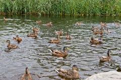 żywieniowy kaczki szaleństwo Obrazy Stock