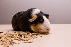 Żywieniowy królik doświadczalny zdjęcia royalty free