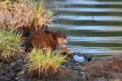 żywieniowy piżmoszczur Fotografia Stock
