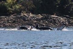 Żywieniowy szaleństwo humpback wieloryby w Alaska obraz stock